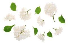 Flores, ramos claros e folhas lilás isolados no fundo branco Configuração lisa Vista superior ilustração do vetor