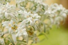 Flores raras dos edelvais closeup Imagens de Stock Royalty Free