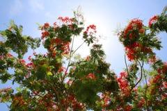 Flores reais de Poinciana na árvore Fotos de Stock Royalty Free