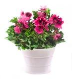 Flores reais do pelargonium Fotos de Stock Royalty Free
