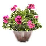 Flores reais do pelargonium Imagem de Stock Royalty Free
