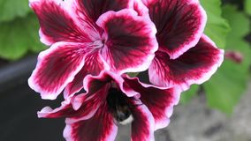 Flores reais do pelargonium - grandiflorum do Pelargonium vídeos de arquivo