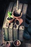 Flores recentemente crescidas da mola e ferramentas de jardinagem velhas Imagens de Stock