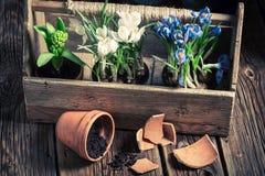 Flores recentemente crescidas da mola e potenciômetros de argila velhos Foto de Stock Royalty Free