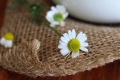 Flores recientemente escogidas de la manzanilla imágenes de archivo libres de regalías