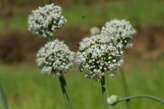 Flores redondas de cebolas verdes pollination Imagens de Stock