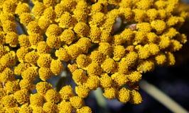 Flores redondas pequenas amarelas esponjosas Foto de Stock