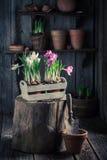 Flores Repotting da mola e ferramentas de jardinagem velhas Imagens de Stock