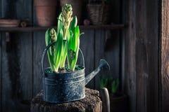 Flores Repotting da mola e potenciômetros de argila velhos Fotos de Stock Royalty Free