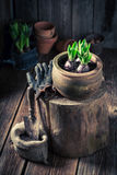 Flores Repotting da mola na vertente de madeira velha Fotografia de Stock