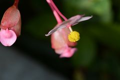 Flores resistentes de la begonia Imagen de archivo