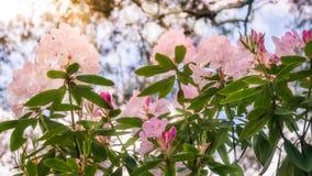 Flores retroiluminadas do rododendro contra o céu imagem de stock royalty free