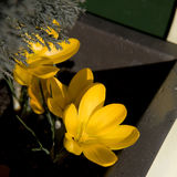 Flores ricas da mola Imagens de Stock Royalty Free