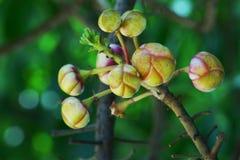 Flores robusta del Shorea Foto de archivo libre de regalías