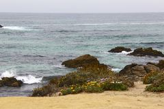 Flores rochosas do amarelo do Oceano Pacífico Fotos de Stock
