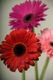 Flores rojas Fotografía de archivo