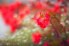 Flores rojas Fotografía de archivo libre de regalías
