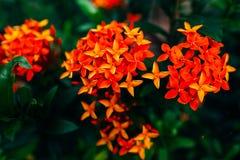 Flores rojas Fotos de archivo libres de regalías