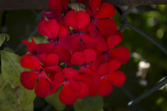 Flores rojas Imágenes de archivo libres de regalías