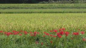 Flores rojas alineadas almacen de video