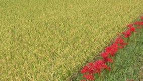 Flores rojas alineadas metrajes