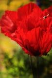 Flores rojas - amapolas gigantes Fotografía de archivo libre de regalías