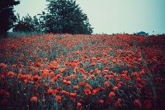 Flores rojas - amapolas que crecen en el prado Falta de definición grande del fondo, pequeña profundidad del campo Fotografía de archivo libre de regalías
