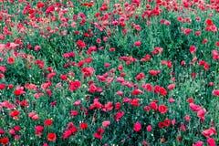 Flores rojas - amapolas que crecen en el prado Falta de definición grande del fondo, pequeña profundidad del campo Fotos de archivo