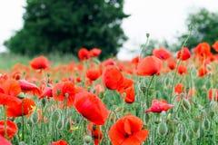 Flores rojas - amapolas que crecen en el prado Falta de definición grande del fondo, pequeña profundidad del campo Foto de archivo