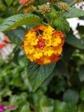 Flores rojas amarillas Fotografía de archivo