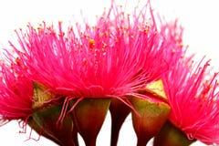 Flores rojas australianas de Ironbark Imagen de archivo