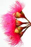 Flores rojas australianas de Ironbark Fotografía de archivo