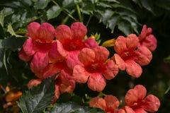 Flores rojas brillantes Imágenes de archivo libres de regalías