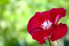 Flores rojas brillantes del houseplant borrosas Foto de archivo