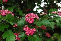 Flores rojas brillantes en una rama de un árbol floreciente Fotos de archivo libres de regalías