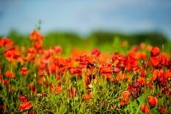 Flores rojas brillantes hermosas de la amapola Imagen de archivo libre de regalías