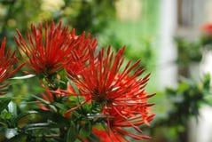 Flores rojas, capturadas en una zona rural del ‹del †del ‹del †la provincia de Panamá Foto de archivo