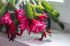 Flores rojas con descensos del rocío en la mañana, primer fotos de archivo