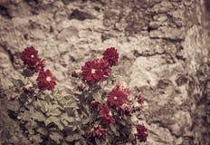 Flores rojas con la pared de piedra vieja en el fondo fotografía de archivo