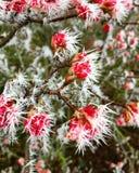Flores rojas cubiertas con los puntos del hielo Imagenes de archivo