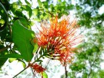 Flores rojas de Ixora contra las hojas y la luz del sol del verde Imagenes de archivo