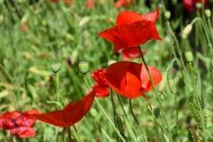 Flores rojas de la amapola Fotos de archivo