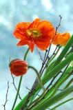 Flores rojas de la amapola Foto de archivo libre de regalías