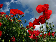 Flores rojas de la amapola Imagenes de archivo
