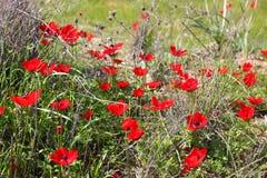 Flores rojas de la amapola imagen de archivo libre de regalías