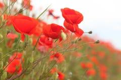 Flores rojas de la amapola Imagen de archivo