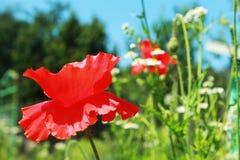 Flores rojas de la amapola Imágenes de archivo libres de regalías