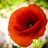 Flores rojas de la amapola Fotos de archivo libres de regalías
