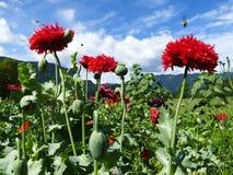 Flores rojas de la amapola, abejas y cielo azul Foto de archivo libre de regalías