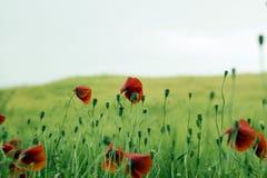 Flores rojas de la amapola con el brote en campo Foto de archivo